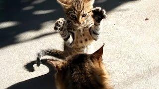 Смелый котенок нападает на старого кота #Кот: Приколы 2016 для детей