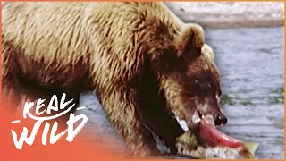A Grizzly Paradise [Grizzly Bear Documentary] | Real Wild