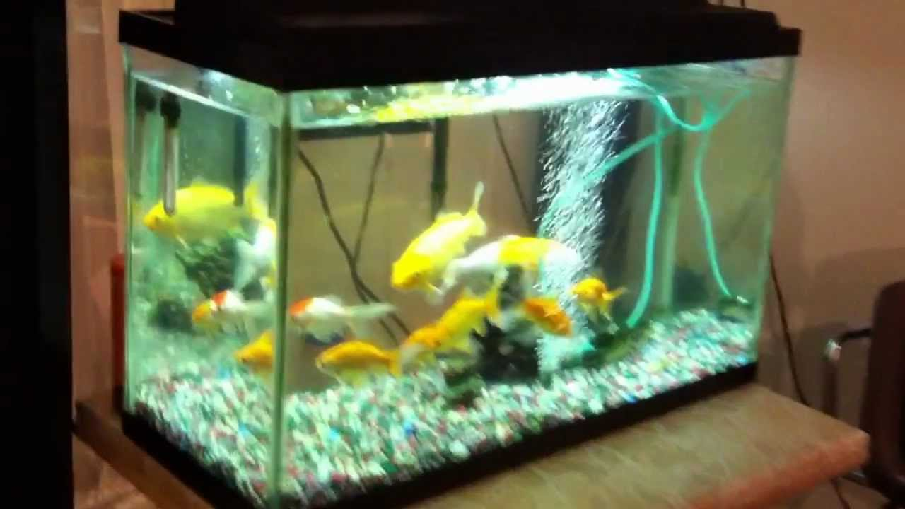 30 gallon fish tank with gold fish koi fish youtube for Koi fish tank