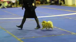 Региональная выставка собак ранга САС-КЧФ г. Дзержинск, юниоры, померанцы