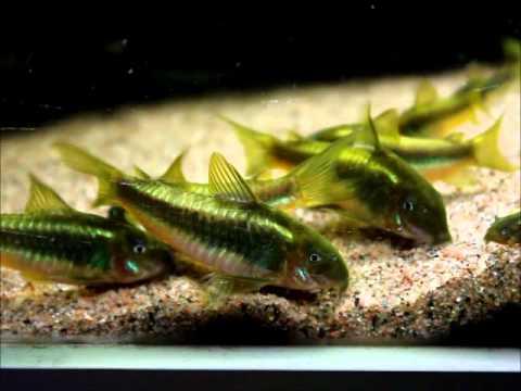 Corydoras sp CW009 Green Laser - YouTube