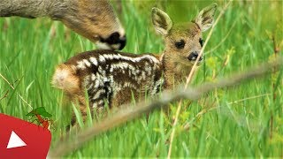 YOUNG FAWN HIDING IN THE GRASS