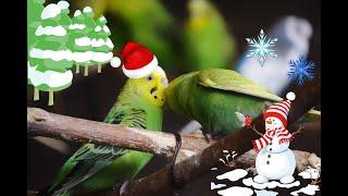 Зимовка попугаев в вольере