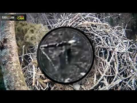 Bigfoot Sighting On Michigan Live Eagle Cam!