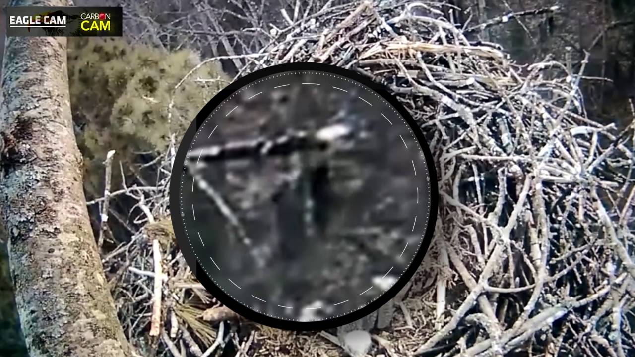 Bigfoot Sighting on Michigan Live Eagle Cam!