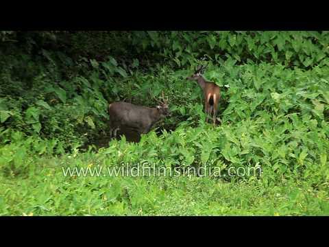 Barking deer feed on fresh green leaves in India