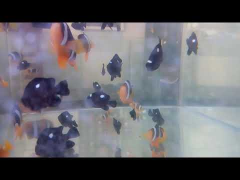 THREE SPOT DAMSEL FISH ARRIVED