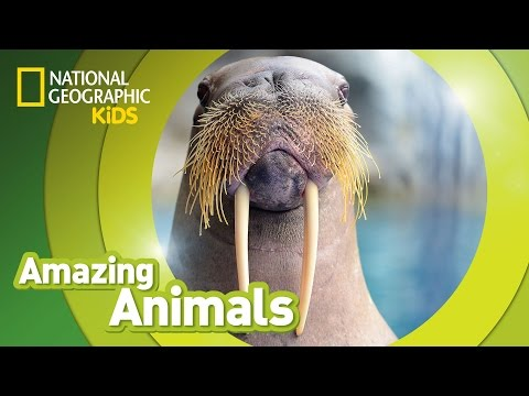 Walrus | AMAZING ANIMALS