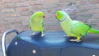 Amazing Talking Parrot Mitthu