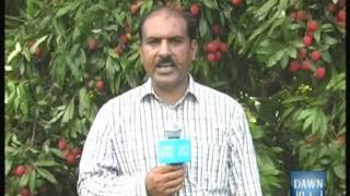 Pakistan-Haripur Package about Bat attack on litchi fruit-DAWN TV 15 July.DAWN TV