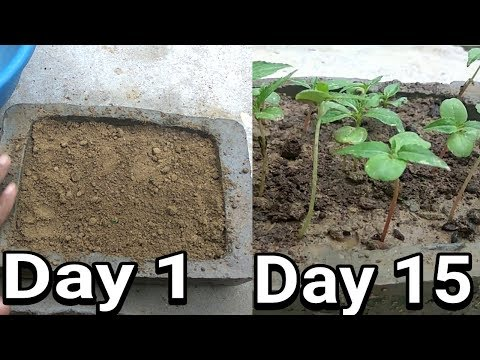 How to grow Balsam (Gulmehendi) from seeds with update video