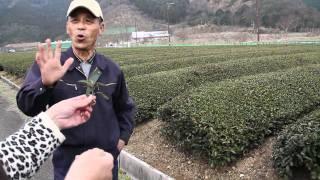 A tea farm