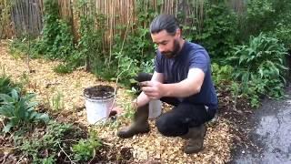 Hardy Kiwi - Easy Propagation Technique
