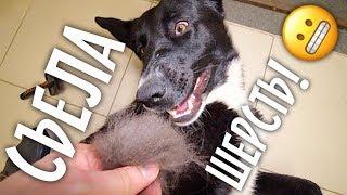 Собака нагадила в машине и съела шерсть!