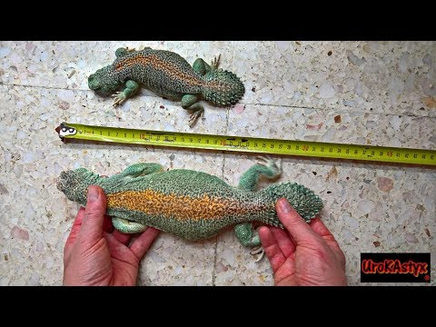 Uromastyx Thomasi Gigante / Uromastyx Thomasi Giant - YouTube