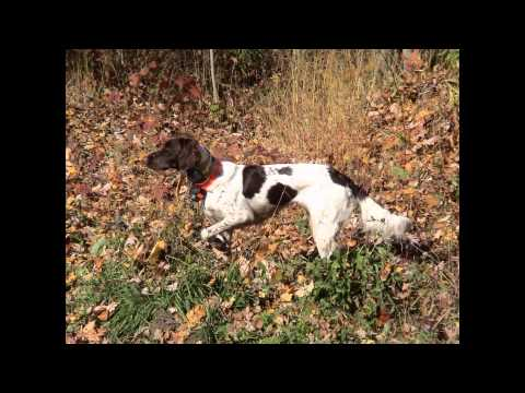 Small Munsterlander Pointer (порода собак HD slide show)!