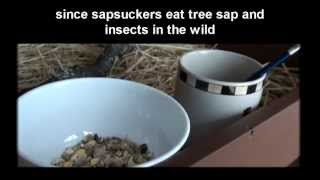 Rescuing a red-breasted Sapsucker, cute Stuart footage at end