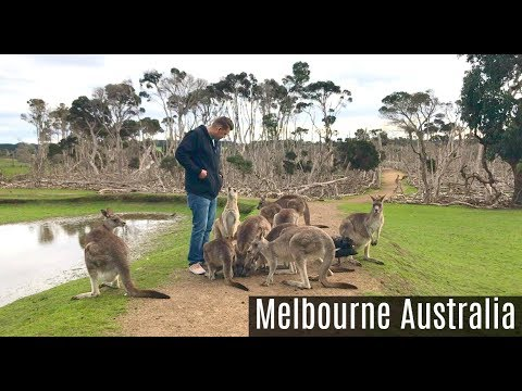 Surrounded By KANGAROOS in Australia!!! Phillip Island