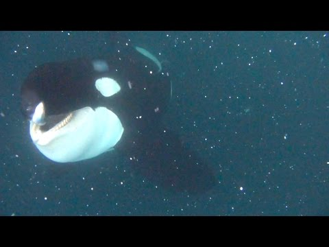 wild Orca nearly collides with a diver 720p ★ 2015  @versatilith