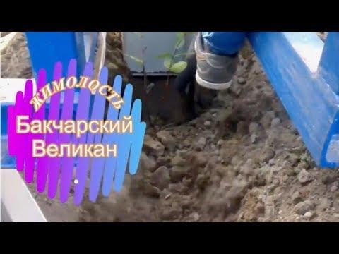 Жимолость Бакчарский великан