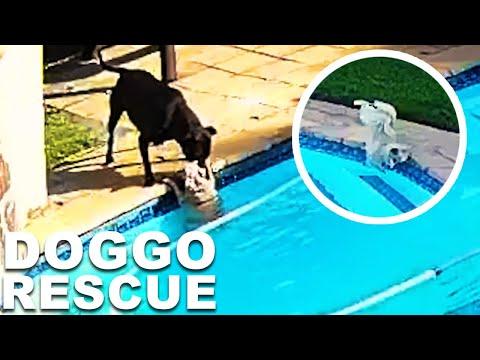 Hero Dog Saves Best Friend Drowning In Pool