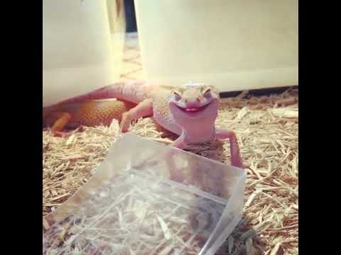 Cute lizard smiling