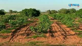 Papaya, Fig (Anjeer) and Pomegranate farming with Intercropping by Nanda Kumar | Padi Pantalu