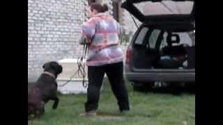 škola za pse aron bulmastif mix vežbanje ulaženje u auto i transportni boks