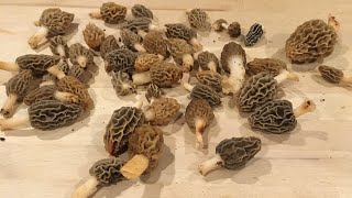 Finding Morel Mushrooms (dry land fish)