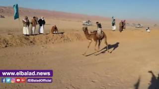 ختام المهرجان الـ15 لسباقات 'الهجن' بجنوب سيناء ..صور