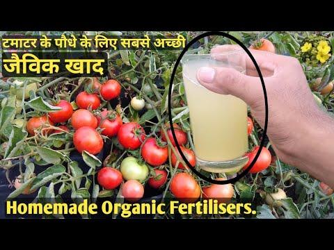 टमाटर के पौधे के लिए जबर्दस्त Organic Fertiliser एक पौधे पर पाये ढेरो टमाटर Best Homemade fertiliser