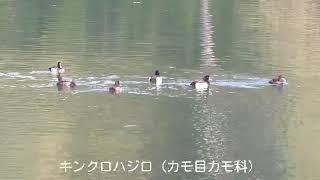 キンクロハジロ(カモ目カモ科)