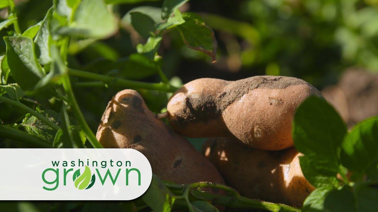 """Download Washington Grown Season 6 Episode 1 """"Potato Exports"""""""