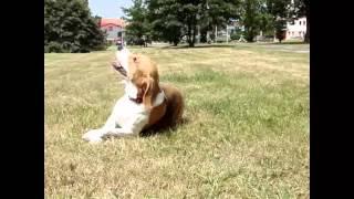 Paca, A Beagle