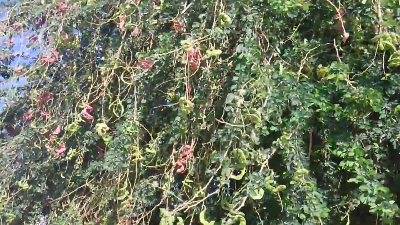 Árbol de pinsanes o guamuchiles - YouTube  Guamuchiles
