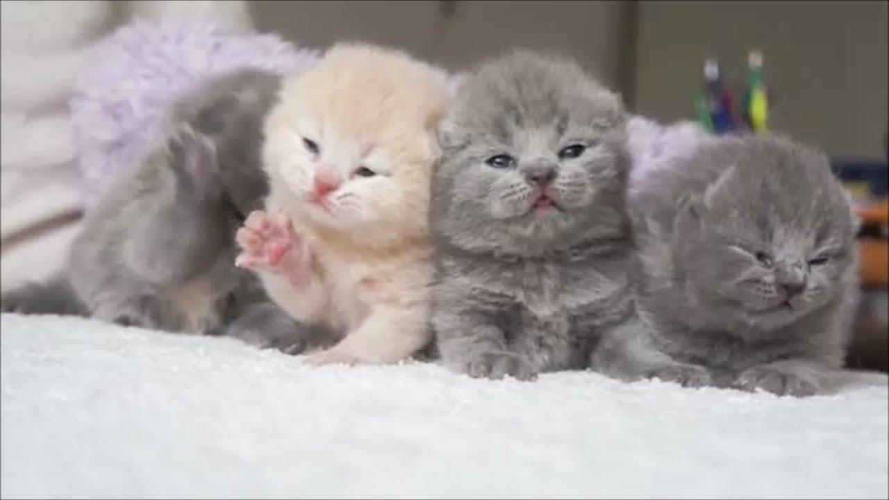 Шотландский вислоухий котёнок, 1 мес. - YouTube