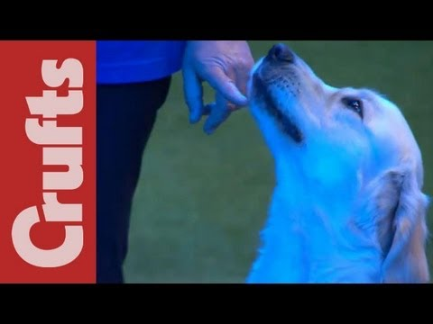 Southern Golden Retriever Display Team - Crufts 2012