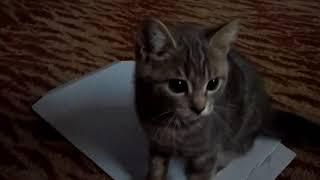Шотландский кот, на руках сидеть не любит