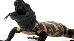 hqdefault - Lizard Spit And Diabetes