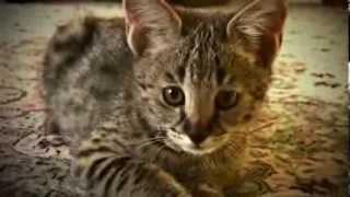 Котенок Саванна(Ашера)