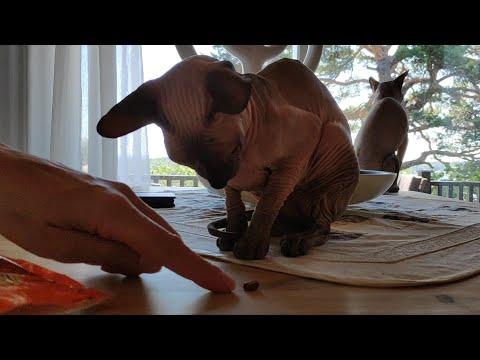 Lovely sphynx cat Bandita asking for her snacks / DonSphynx /