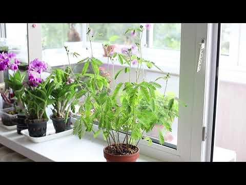 Вопрос: Mimosa Pudica. Почему ее называют убегающим растением?