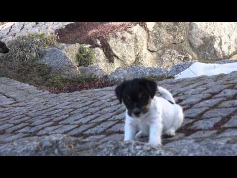 D Babies mit knapp 7 Wochen - Jack Russell Terrier Welpen