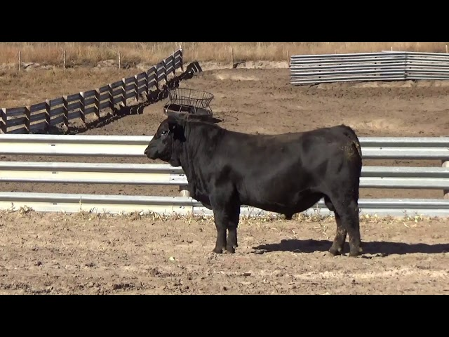 Connealy Angus Lot 85