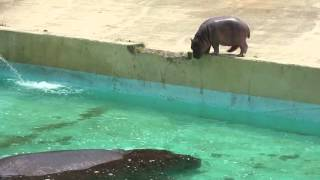 東部動物公園 カバの赤ちゃん水へ飛び込み.