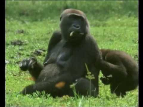 Footage of the endangered western lowland gorilla