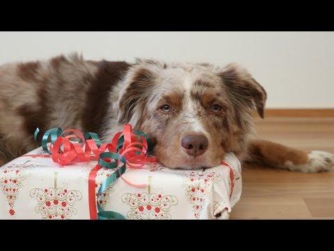 Dog Wraps a Christmas Gift | Pekka the Australian Shepherd