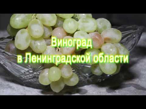 Виноград в Ленинградской области