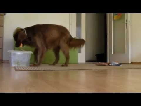 Amazing dog tricks performed by Kim the irish setter