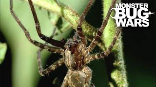 Army Ant Soldier vs Ogre Faced Spider | MONSTER BUG WARS